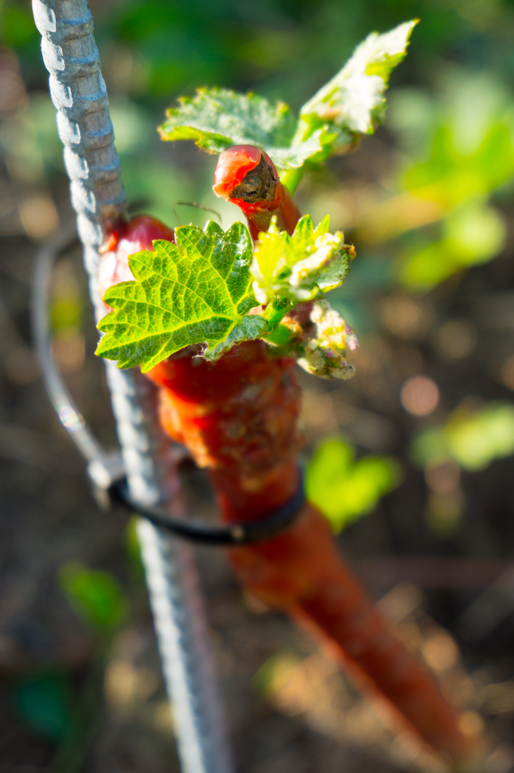 Meopham-Valley-Vineyard-Grapes-Vines-Buds-1