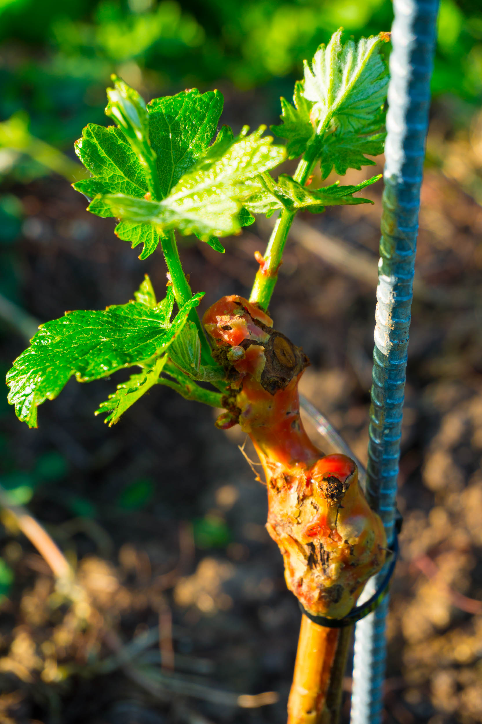 Meopham-Valley-Vineyard-Grapes-Vines-Buds-2