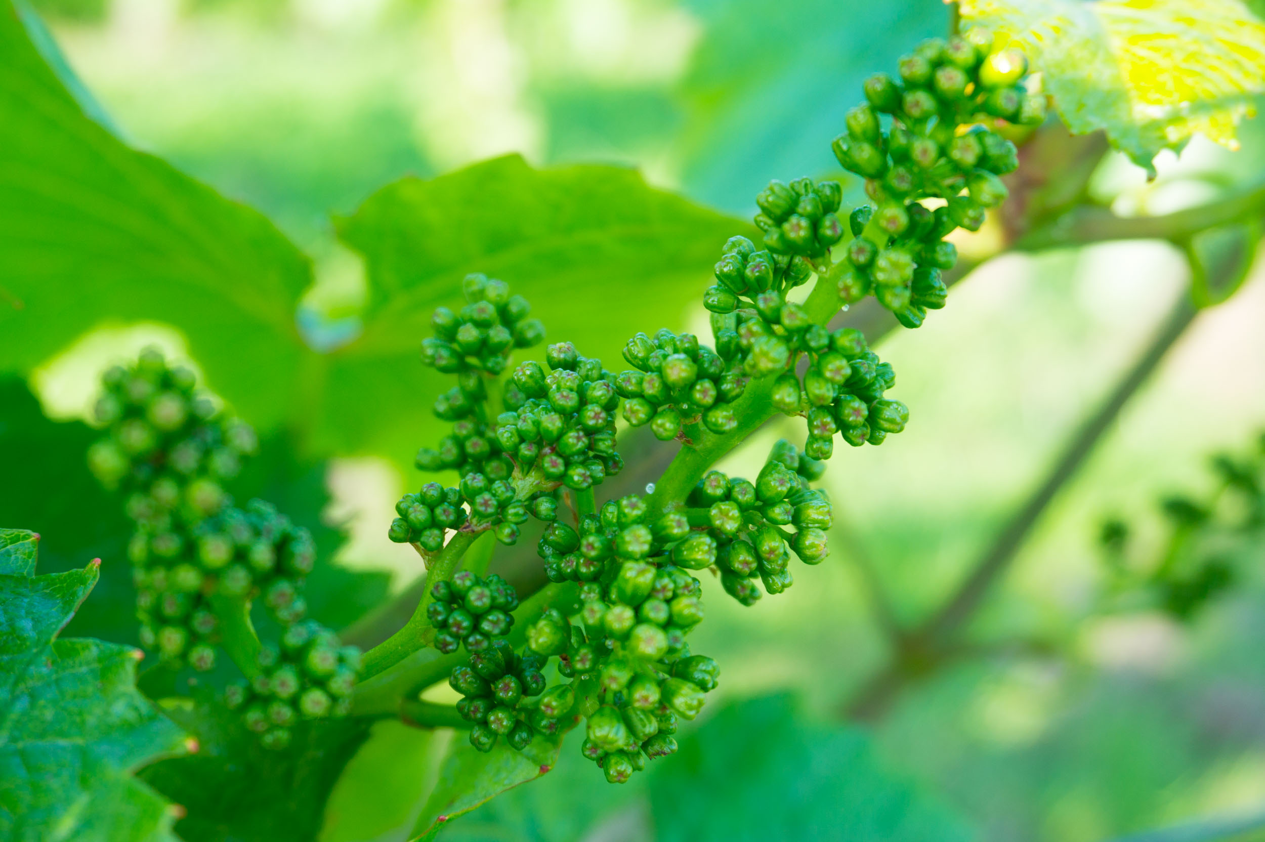 Meopham-Valley-Vineyard-Grapes-Vines-Flowering-3
