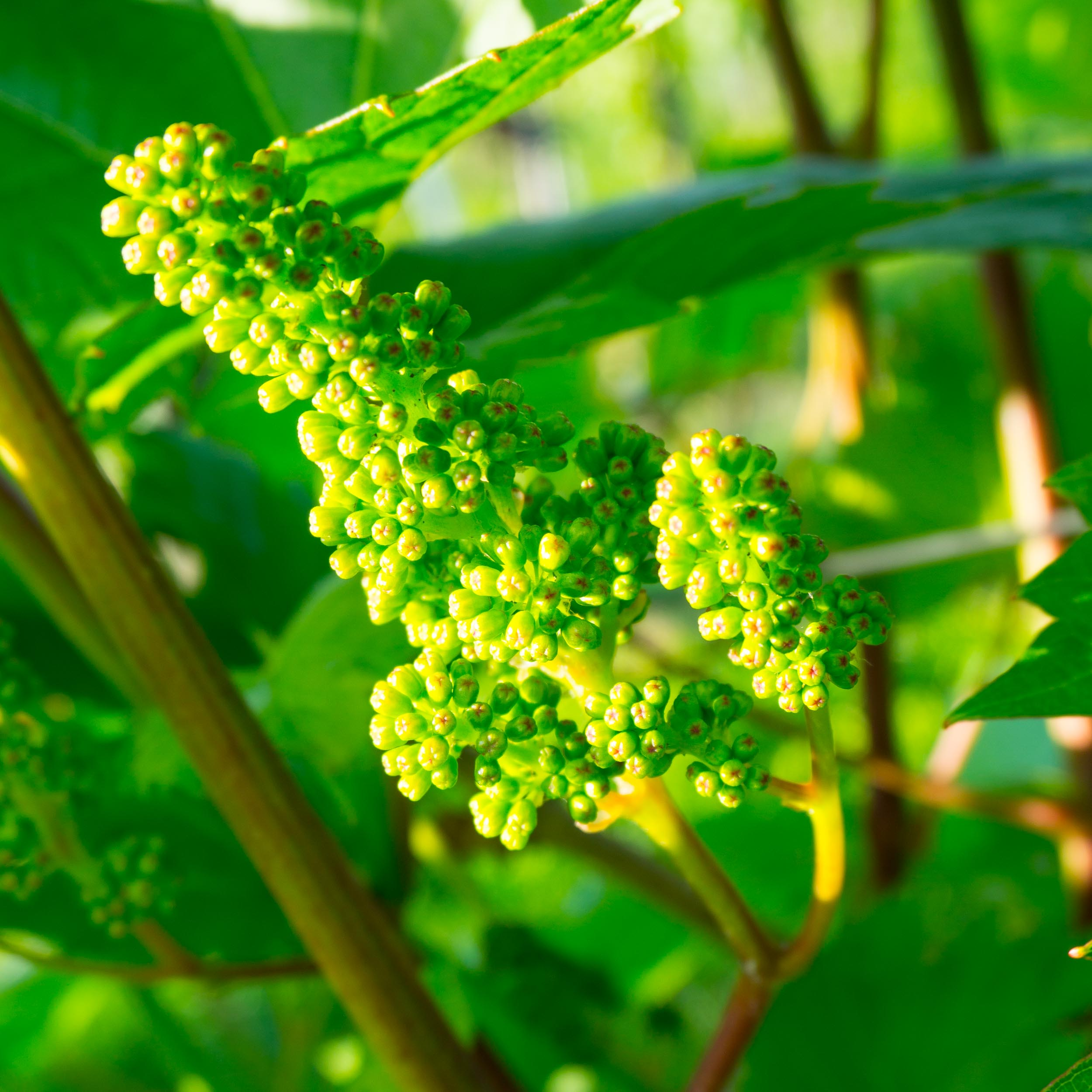 Meopham-Valley-Vineyard-Grapes-Vines-Flowering-4