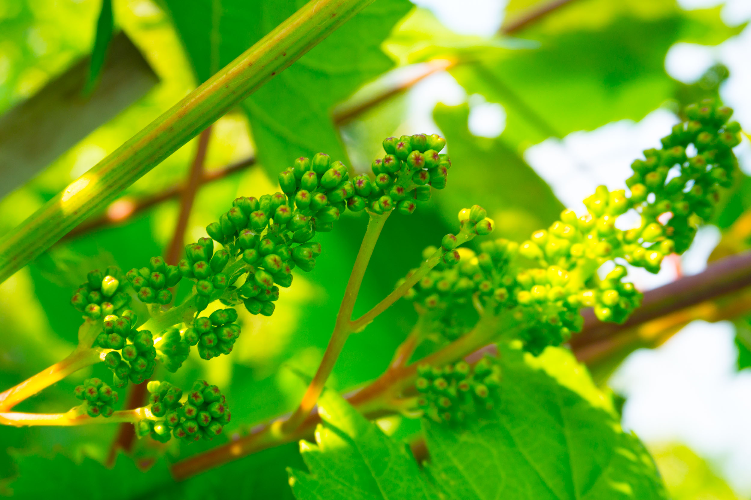 Meopham-Valley-Vineyard-Grapes-Vines-Flowering-5