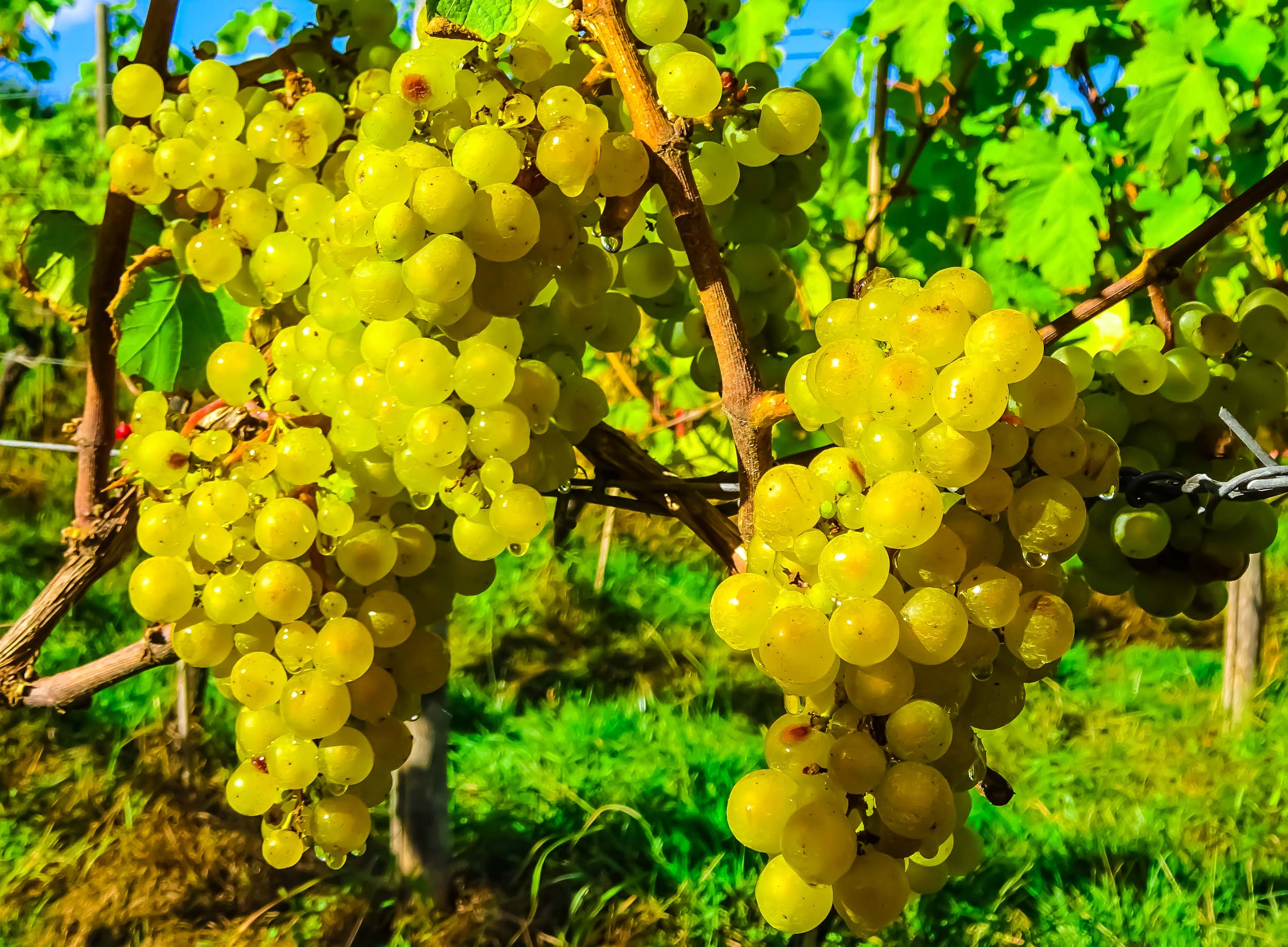Meopham-Valley-Vineyard-Kent-Grape-Vine-Varieties-Madeleine-Angevine-1