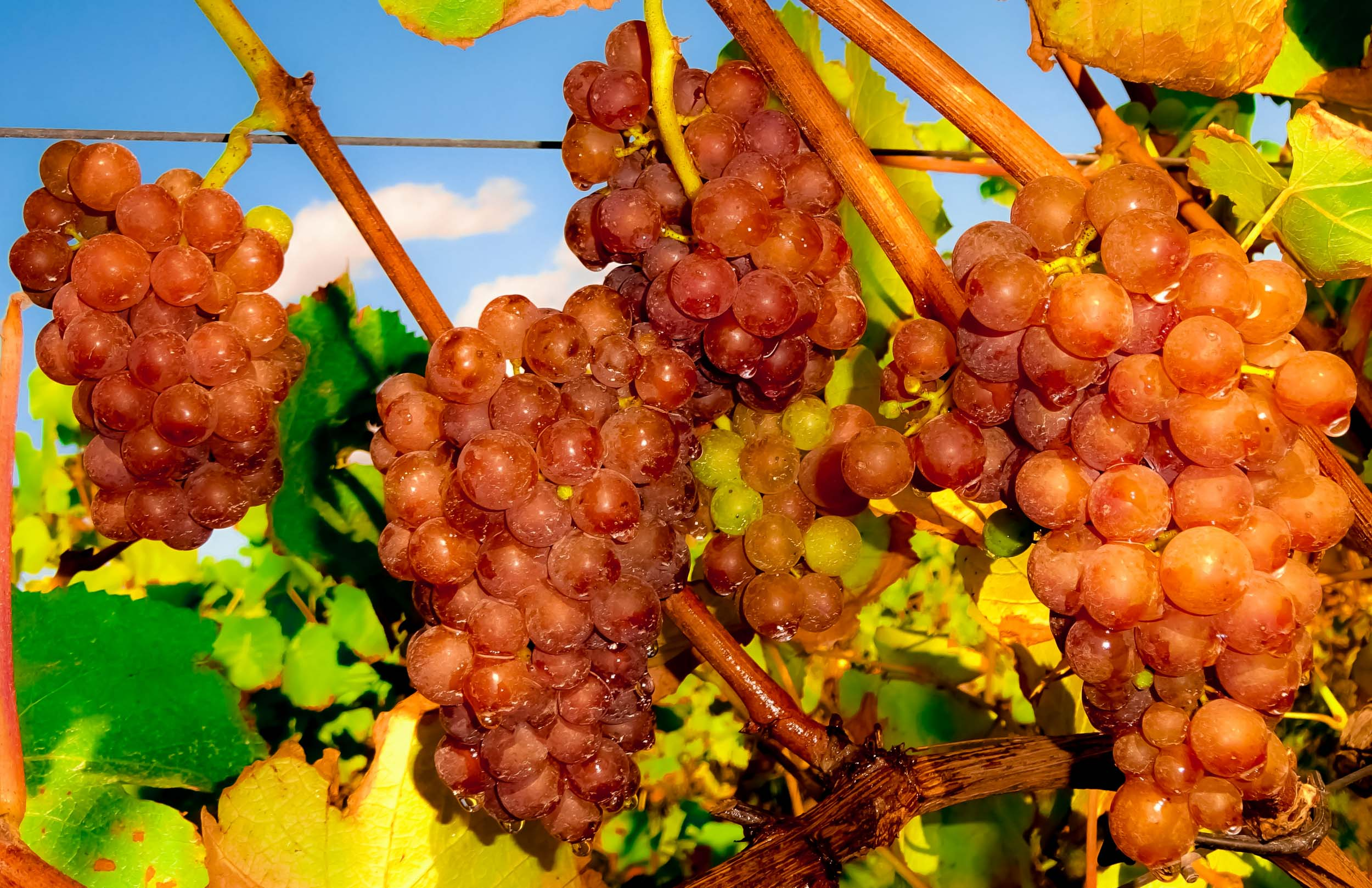 Meopham-Valley-Vineyard-Kent-Grape-Vine-Varieties-Pinot-Gris-1