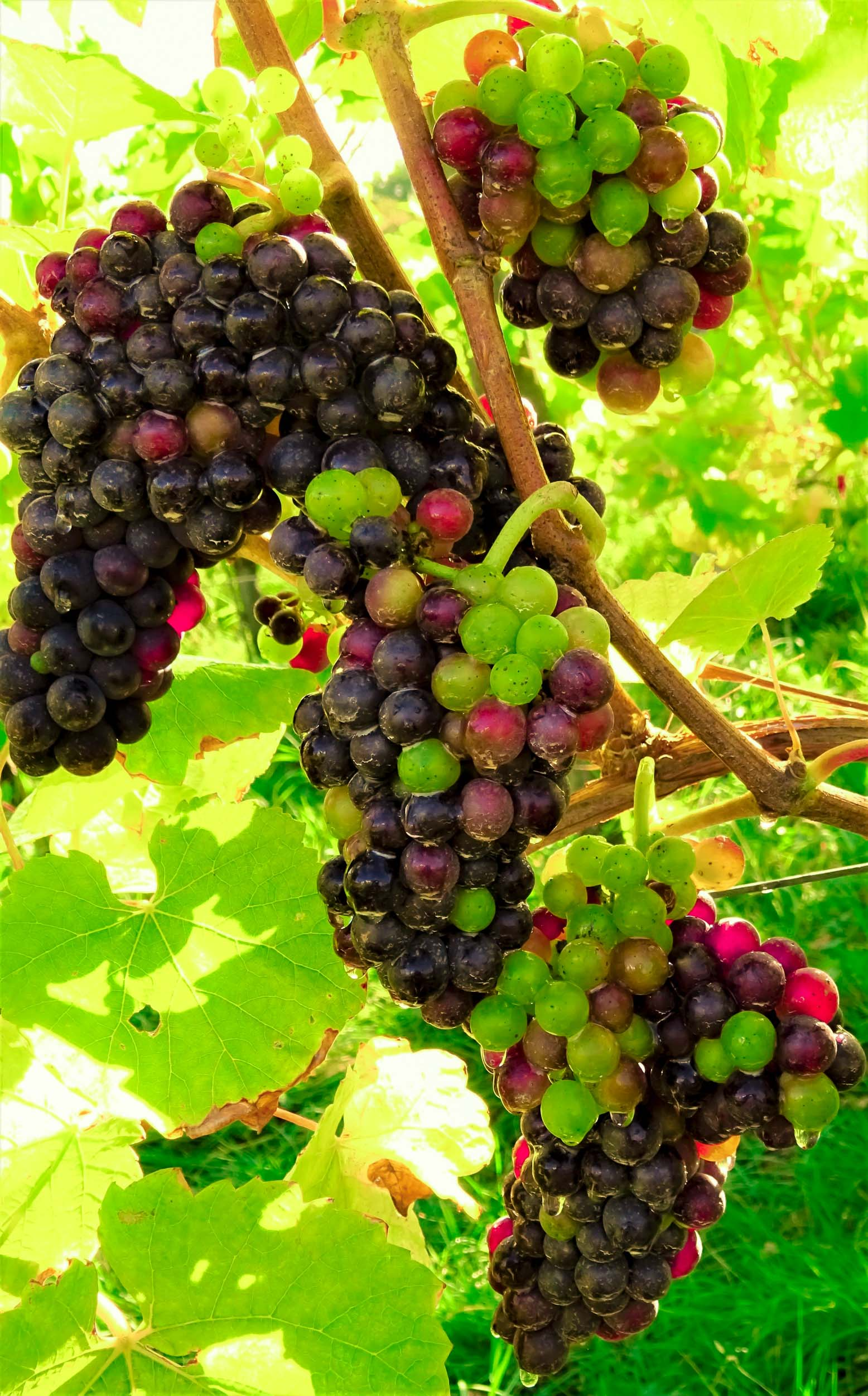 Meopham-Valley-Vineyard-Kent-Grape-Vine-Varieties-Pinot-Noir-1