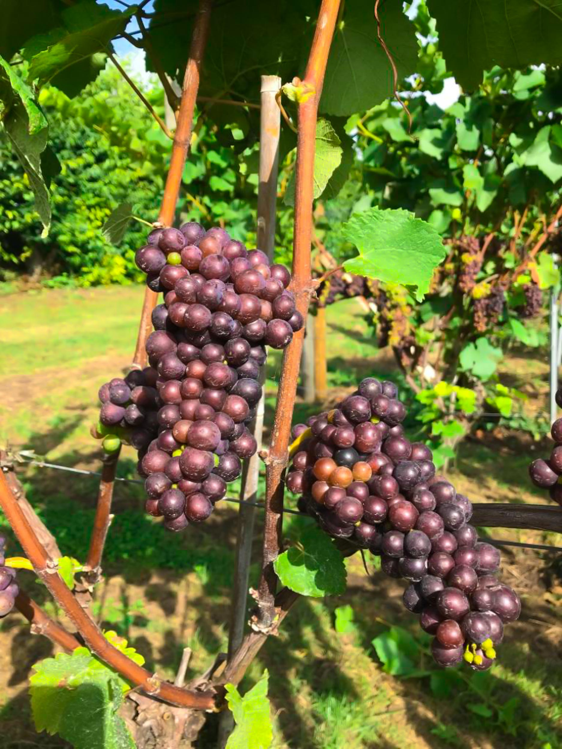 Meopham-Valley-Vineyard-Kent-Grape-Vine-Varieties-Pinot-Noir-15
