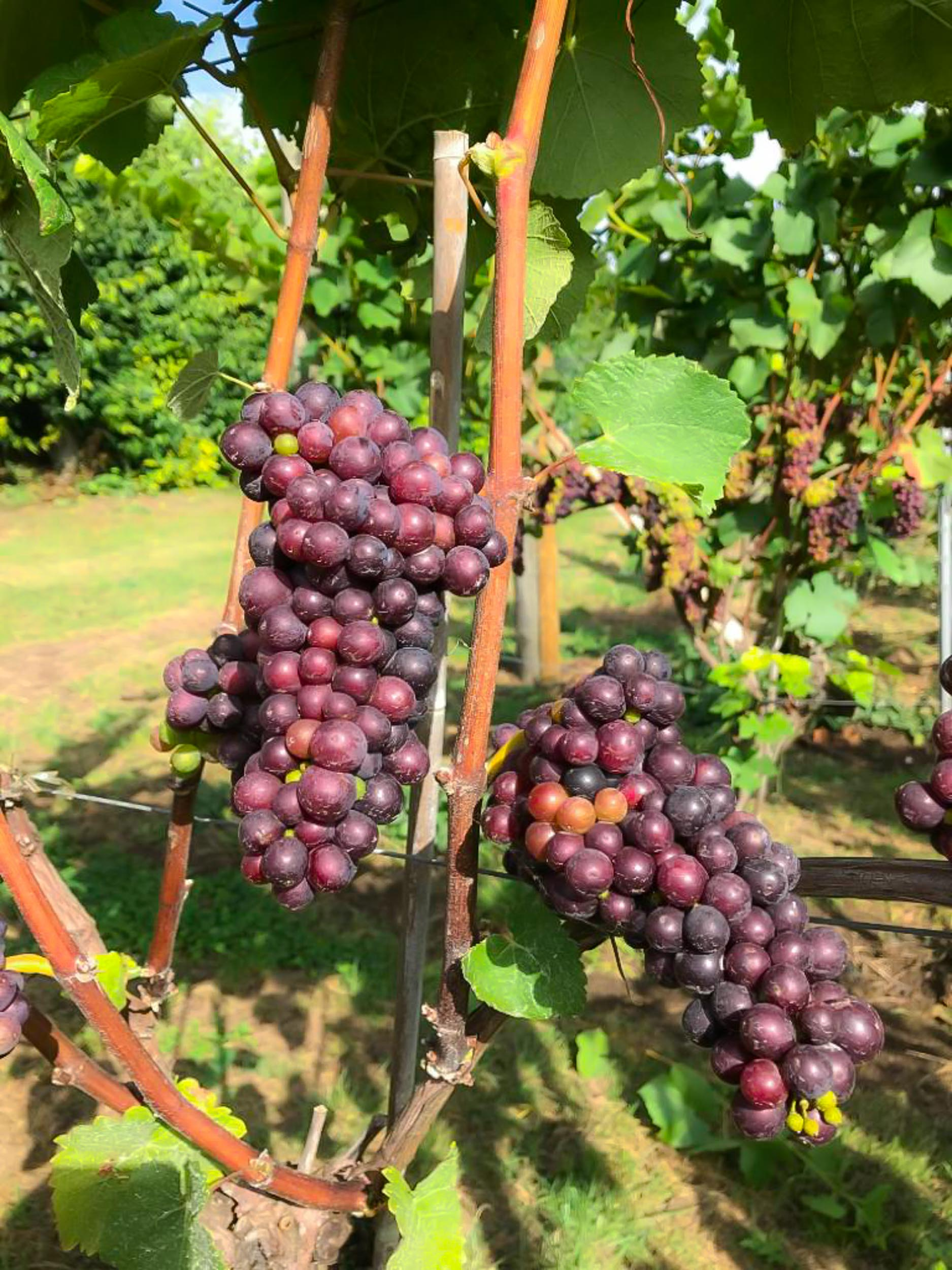 Meopham-Valley-Vineyard-Kent-Grape-Vine-Varieties-Pinot-Noir-3