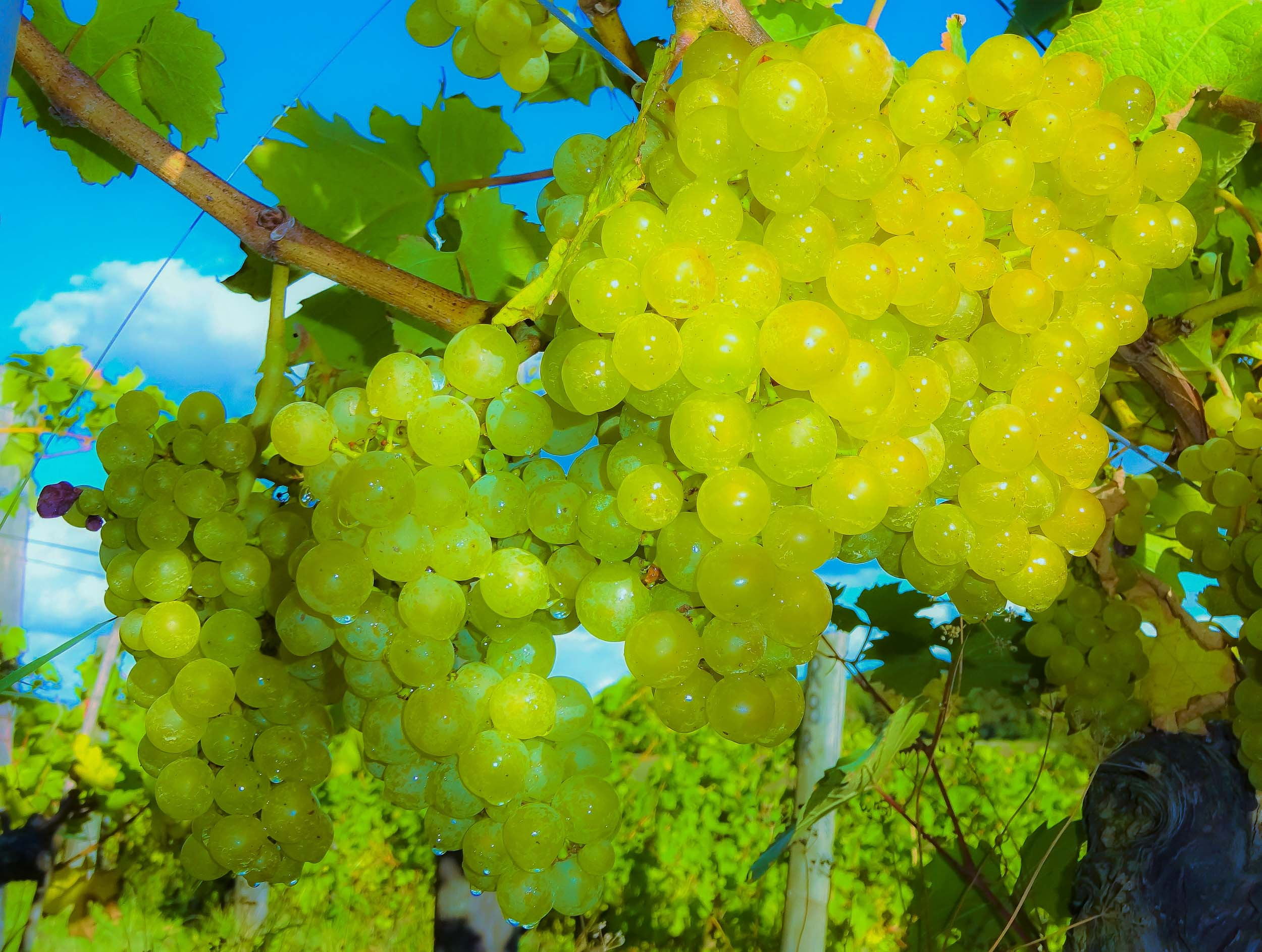 Meopham-Valley-Vineyard-Kent-Grape-Vine-Varieties-Reichensteiner-1